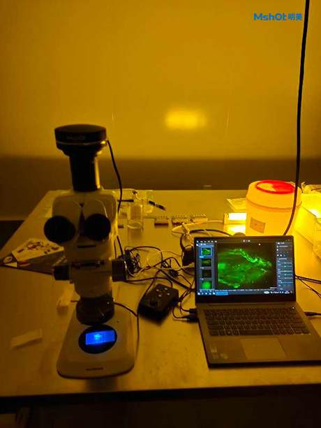 Application of stereo-fluorescence microscope MZX81 in fluorescence observation of mice