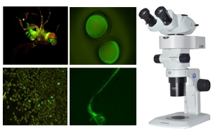 Stereo Fluorescent Microscope for GFP