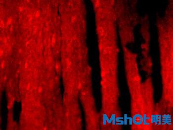倒置荧光显微镜MF53拍摄图1.jpg
