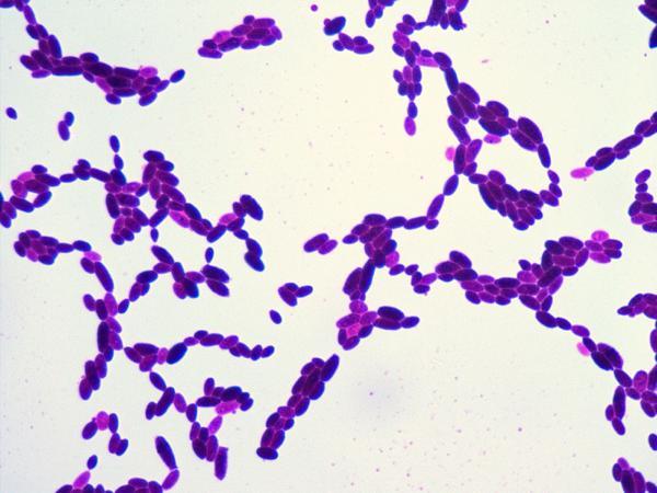 fungi_gram_microscope_100x.png
